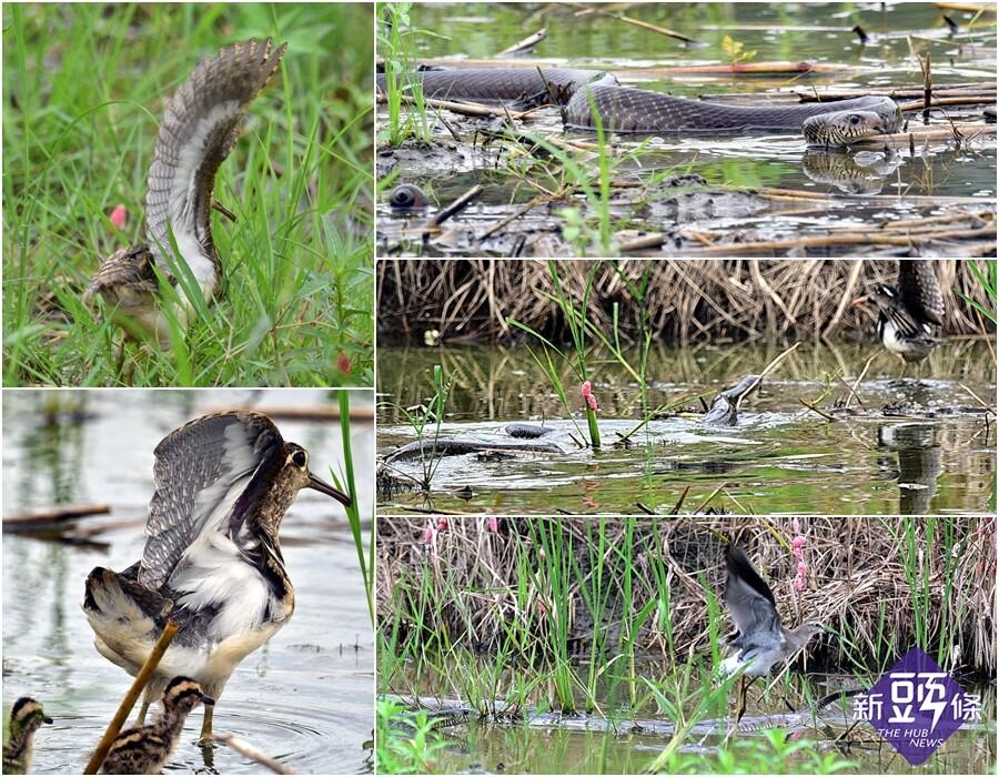 用鏡頭看鳥事~宜蘭河左岸蛇鳥大戰 一隻小彩鷸葬身蛇腹!