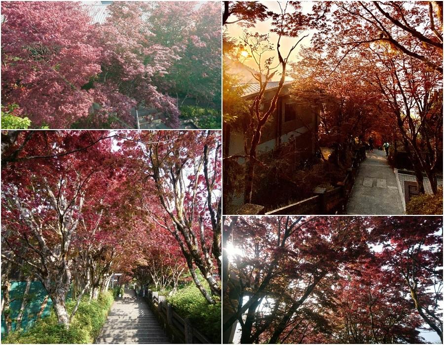 太平山紫葉槭換新裝 楓紅美景魅力再現