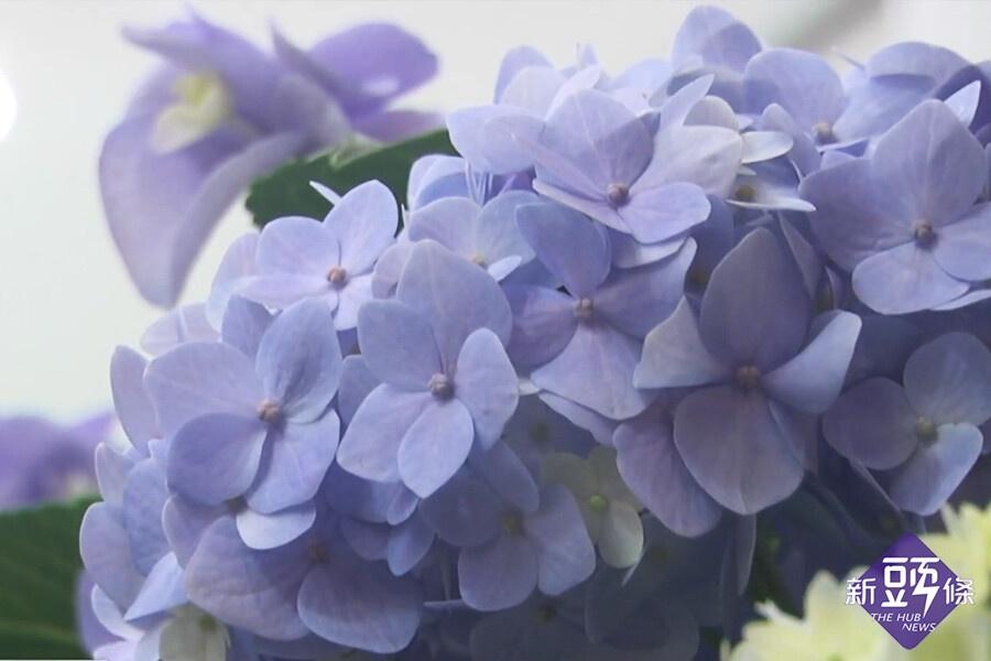 首屆繡球花季開展 萬株花朵繽紛盛開